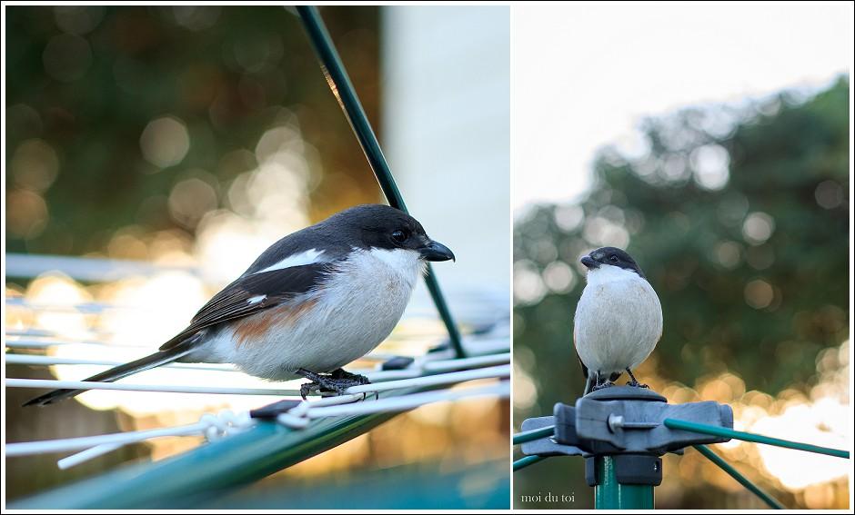 Shrike, moi du toi photography, # sedgefield photographer