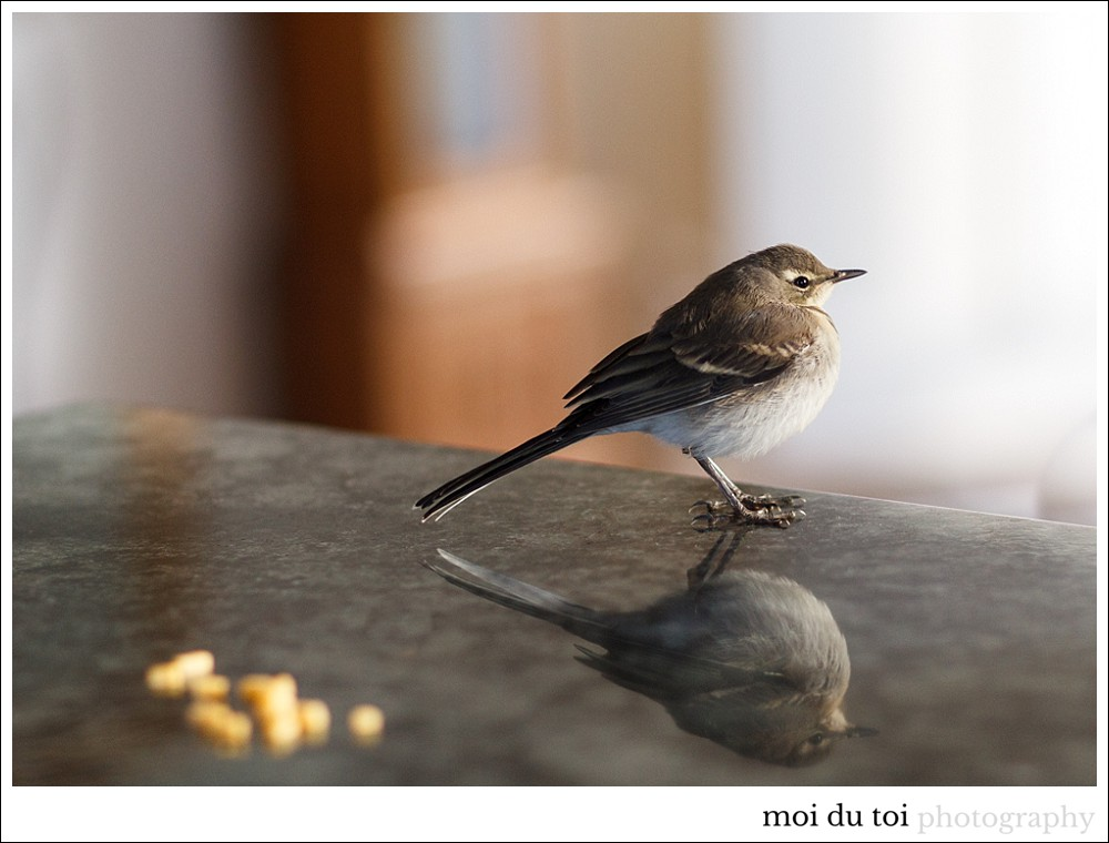 moi du toi photography, wildlife, willy wagtail