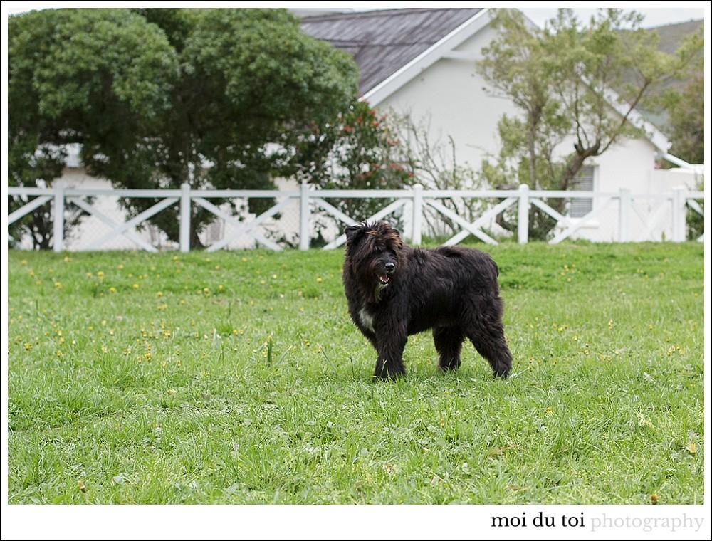 bouvier-cat-5667