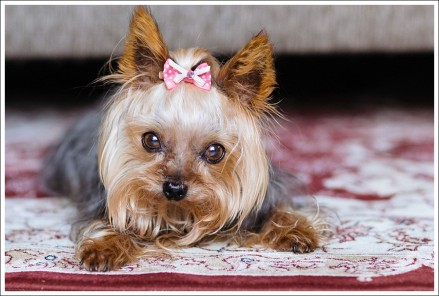 garden route photographer #yorkshire terrier
