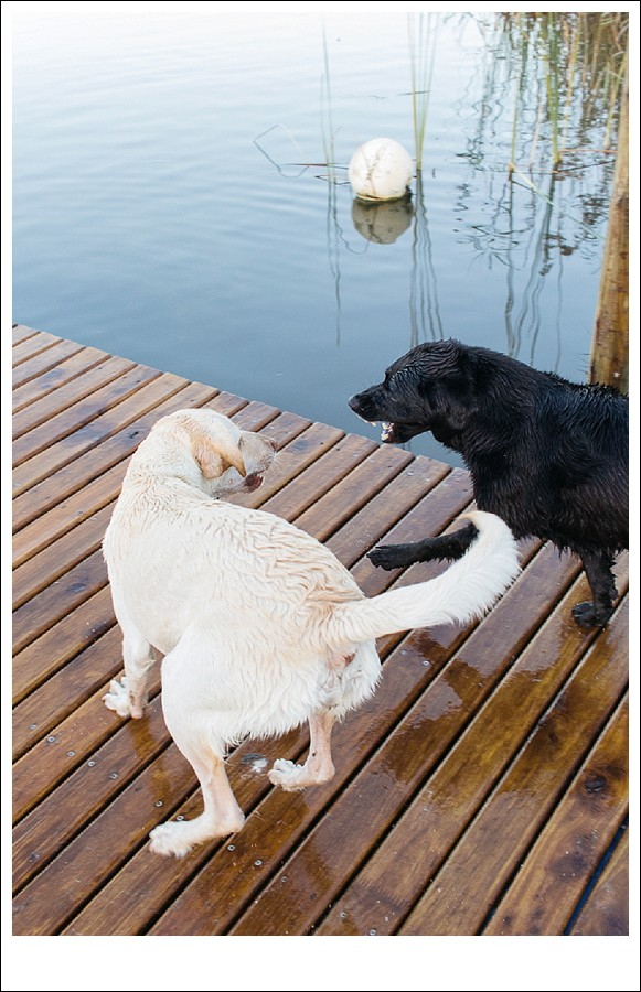 Sedgefield photographer, dog photographer garden route, Groenvlei lake, Labradors