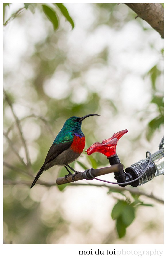 Garden route photographer, sunbirds, moi du toi photography, Sedgefield photographer