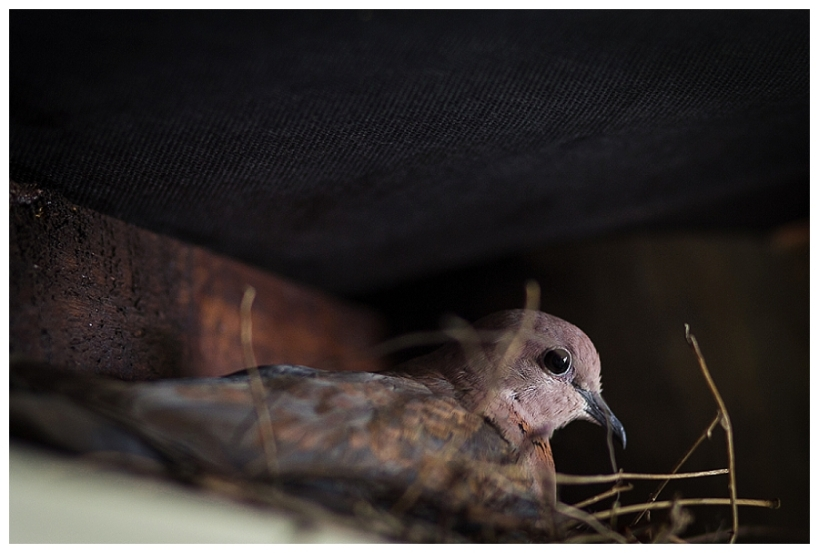 Laughing dove, moi du toi photography, knysna photographer, Sedgefield photographer, Wilderness photographer