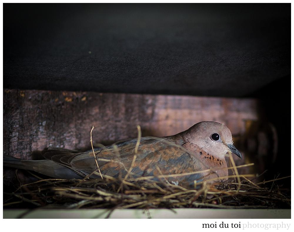 Laughing dove, moi du toi photography, knysna photographer, Sedgefield photographer, Wilderness photographer