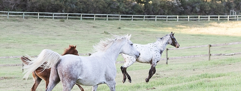 Arabian and Pintabian Horses of Oxbow Farm moi du toi photography